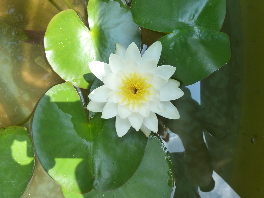 Water lilies newarcc izmirmasajfo